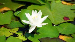 aquatic-aquatic-plant-beautiful-127055